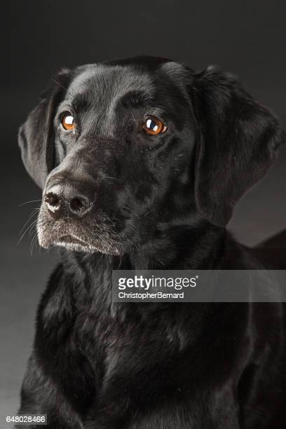 black lab portrait - black labrador stock pictures, royalty-free photos & images