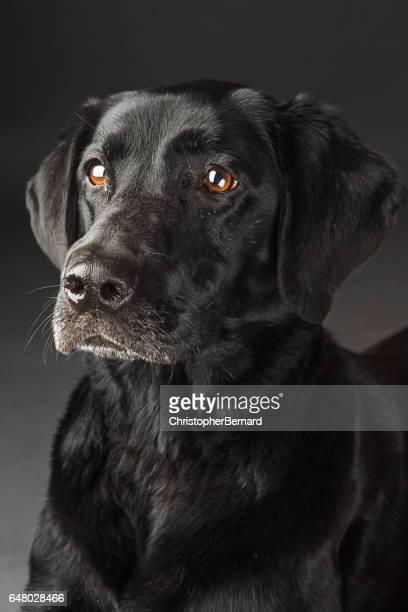 black lab portrait