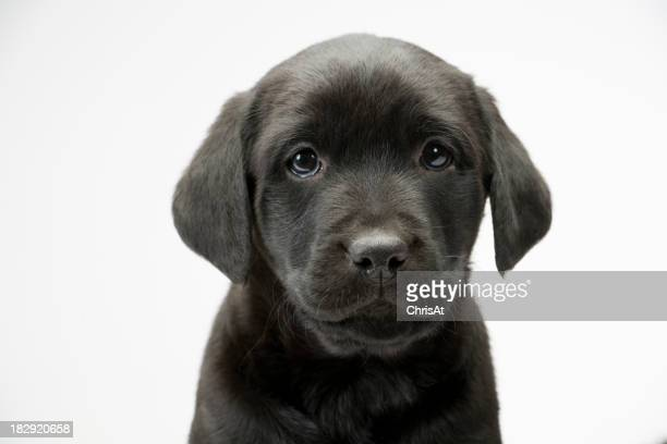 Black lab puppy on white seamless