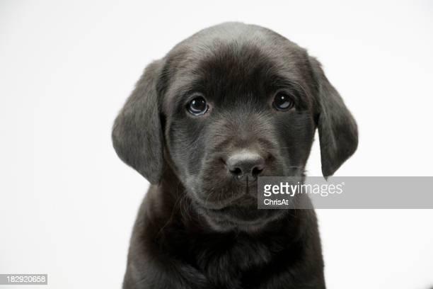 ブラックにホワイトのシームレスなラボ子犬