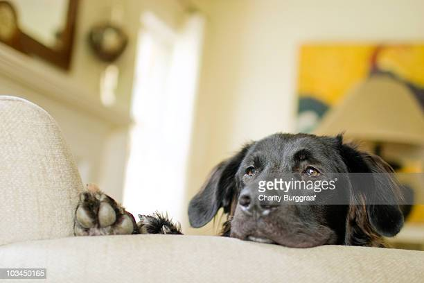 black lab resting head on arm chair - labrador preto imagens e fotografias de stock