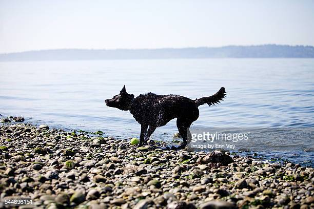 Black Lab Shakes off Water