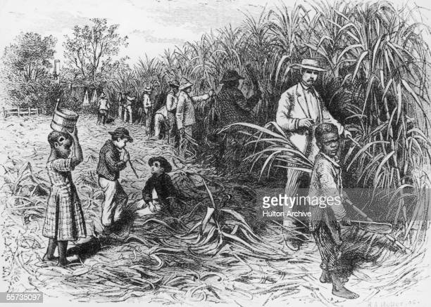 Black labourers working on a sugar plantation in the West Indies circa 1900 Some of the workers are children harvesting under the watchful eye of a...