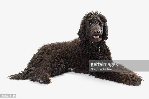 black labradoodle on a white background - labradoodle stock photos and pictures