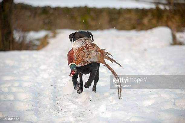 Black Labrador dog carrying a cock pheasant in the snow during a game shoot, Whitewell, Lancashire.