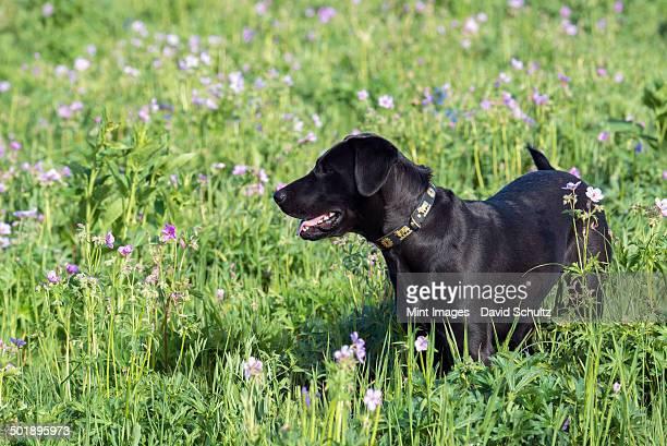 A black Labrador dog in tall meadow grass.