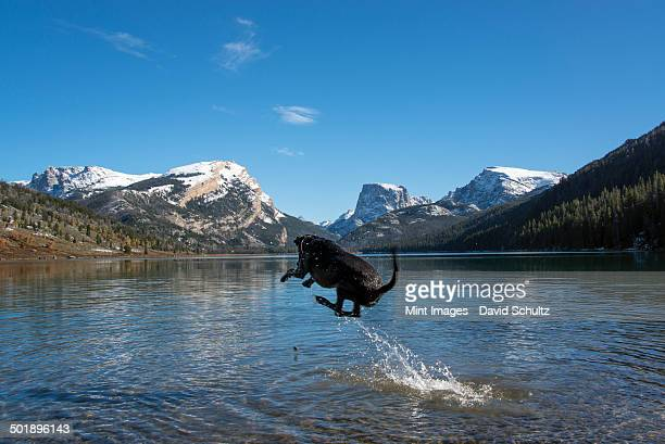 A black Labrador dog, jumping into a lake