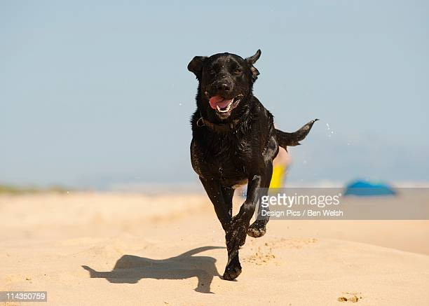 A Black Labrador Dog Running In The Sand On The Beach
