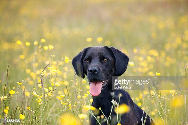black labrador dog sitting in buttercup meadow - black labrador stock pictures, royalty-free photos & images