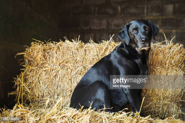 Black Labrador dog sitting on a bale of straw in a stable.