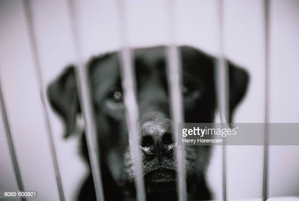 black labrador in cage - dog pound stock pictures, royalty-free photos & images