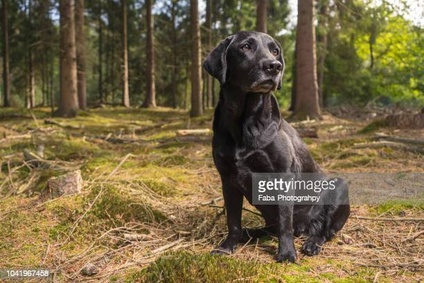 black labrador in the woods - labrador preto imagens e fotografias de stock