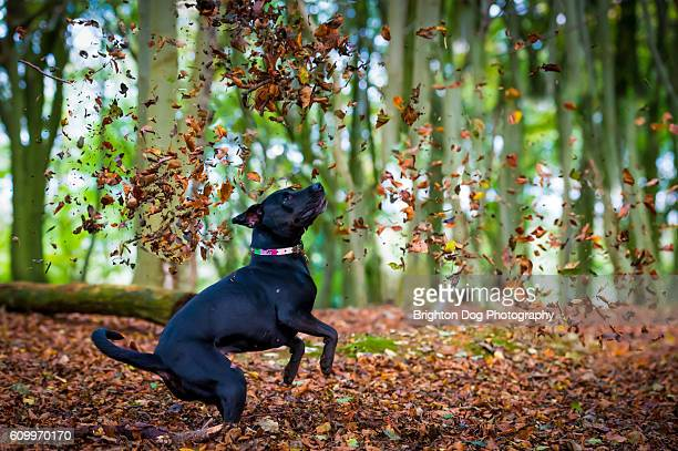 A black labrador jumping at falling leaves