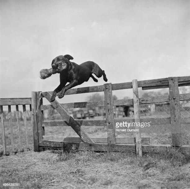 Black labrador jumping over a fence, 22nd April 1969.