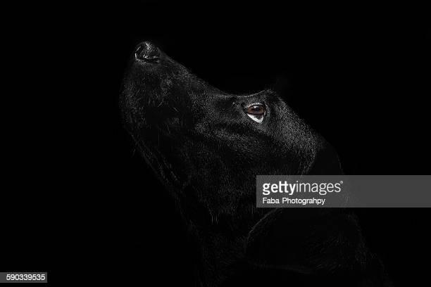 Black labrador looking up
