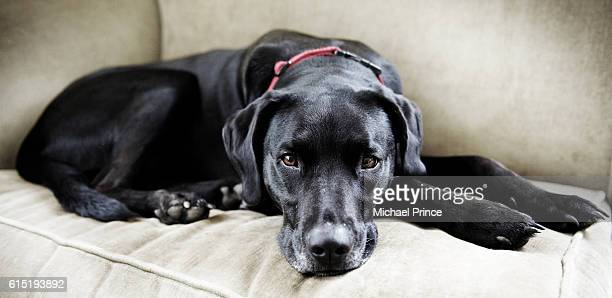 black labrador lying on sofa - black labrador stock pictures, royalty-free photos & images