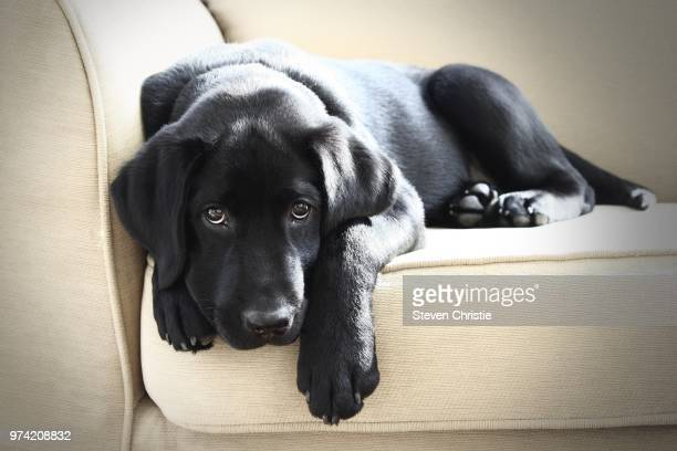 black labrador lying on sofa - labrador preto imagens e fotografias de stock