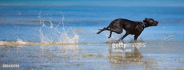 Black labrador mix speeding