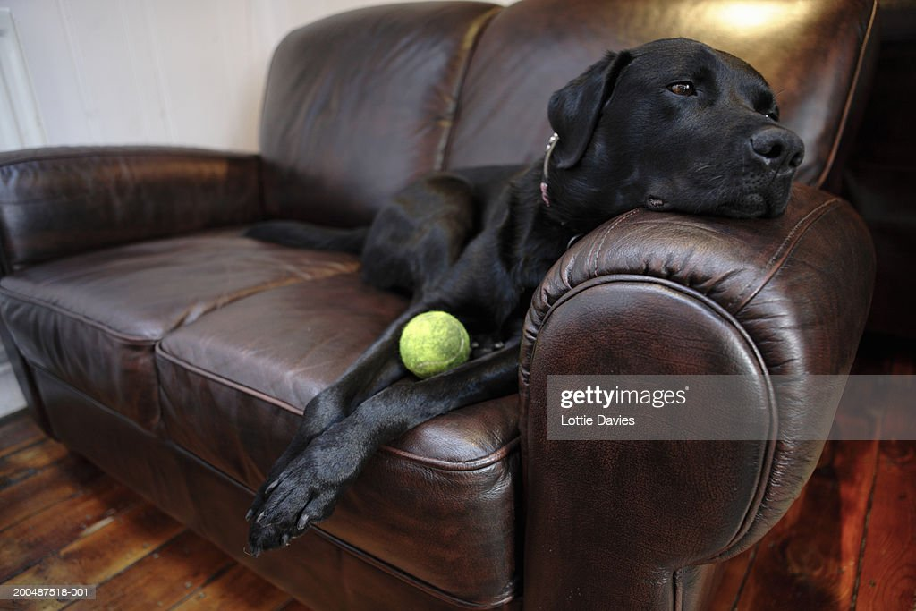 Black labrador on sofa with tennis ball : Stock Photo