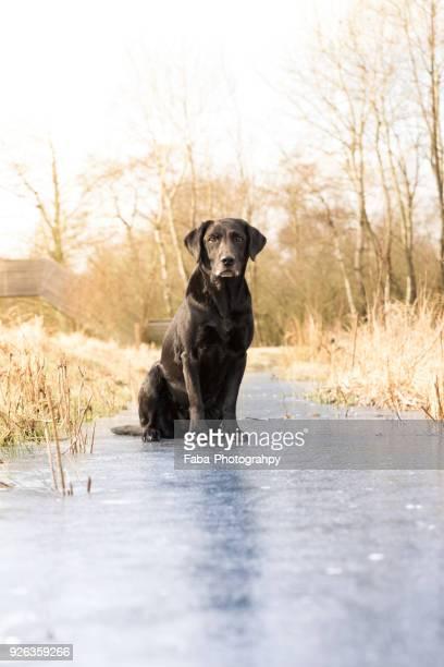 a black labrador outside - black labrador stock pictures, royalty-free photos & images