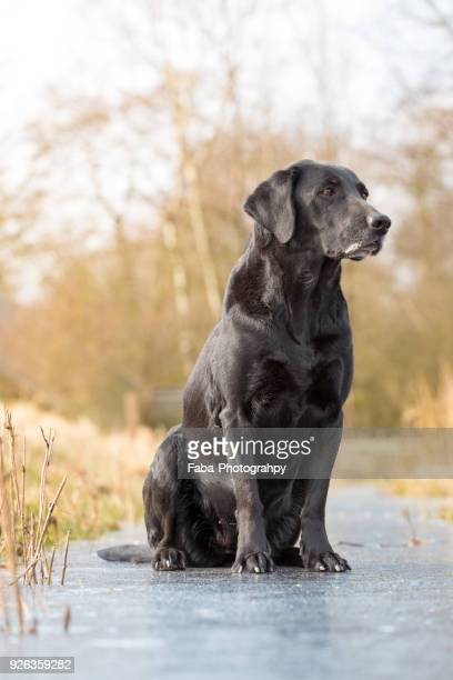 a black labrador outside - labrador noir photos et images de collection