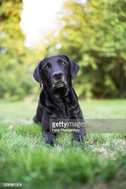 black labrador - labrador noir photos et images de collection
