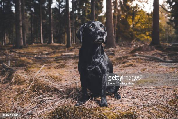 black labrador - 猟犬 ストックフォトと画像