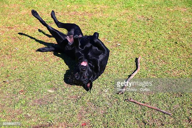Black labrador plays with a stick on the grass on Friday, 31st of July 2015, Melbourne, Australia
