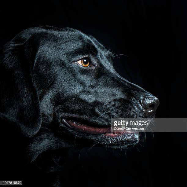 black labrador portrait - gunnar örn árnason stock pictures, royalty-free photos & images