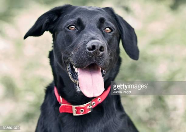 Black Labrador Portrait