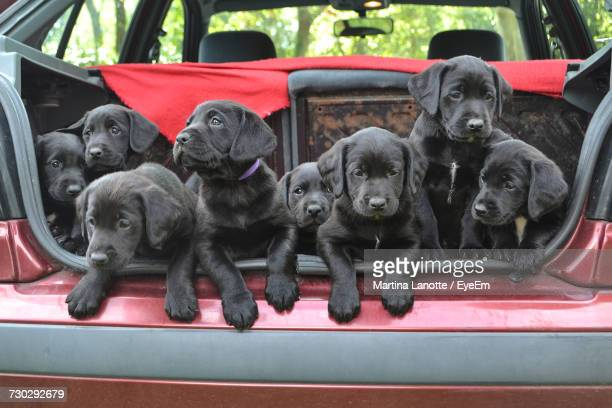 black labrador puppies in car - medium group of animals stock pictures, royalty-free photos & images