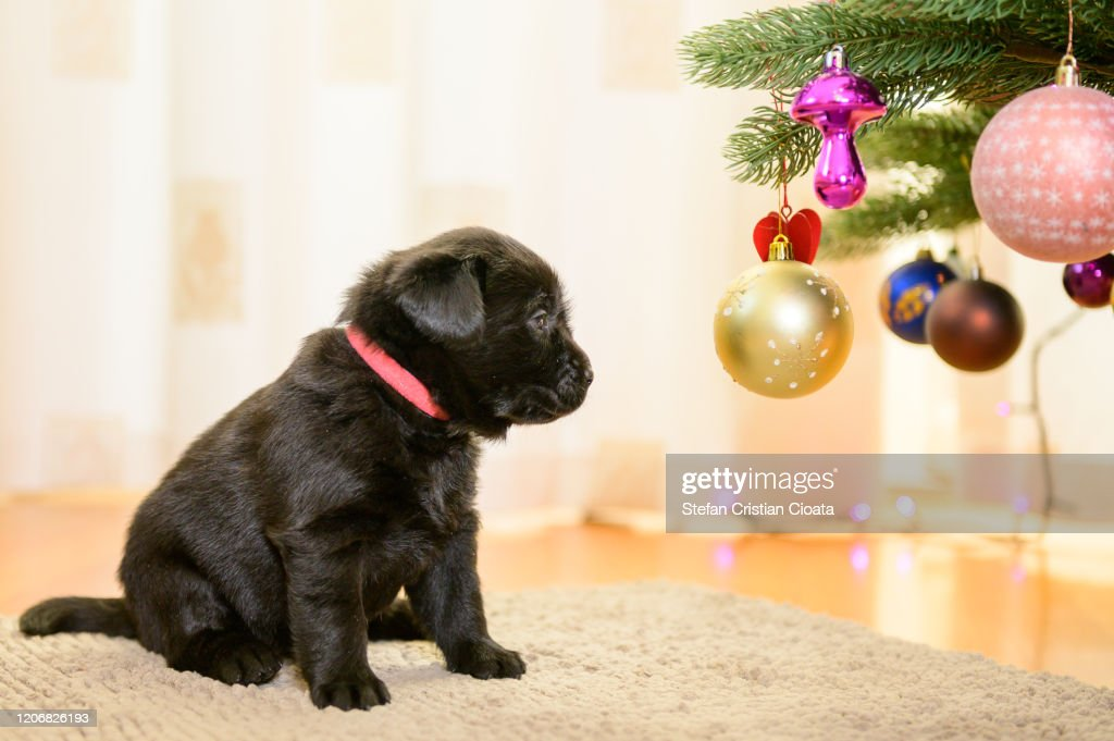 Black Labrador Puppy Looking At Christmas Tree High Res Stock Photo Getty Images