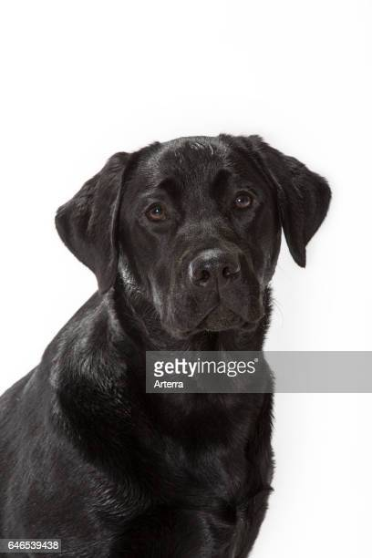 Black Labrador Retriever close up against white background