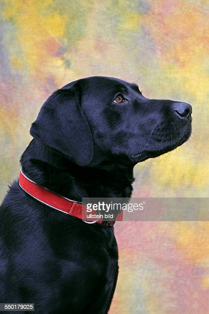 Black Labrador Retriever dog , male, portrait, domestic dog