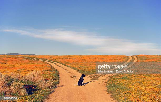 a black labrador retriever dog sitting at a fork in the road, where the path divides.  - forked road stock pictures, royalty-free photos & images