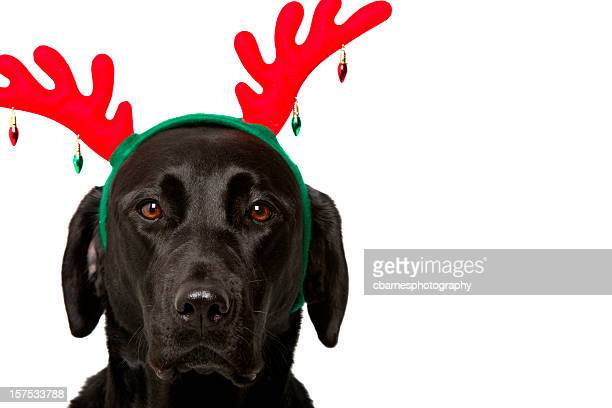 black labrador retriever dog wears festive red christmas holiday antlers