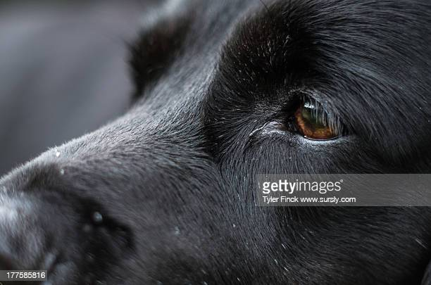 Black Labrador Retriever Eyes