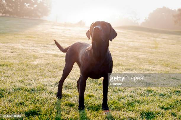 black labrador retriever in park - st. albans stock pictures, royalty-free photos & images