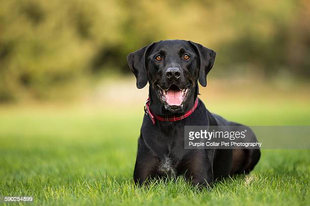 Black labrador retriever laying down on grass