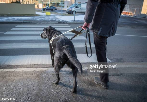 Black Labrador Retriever leading a blind person across the street