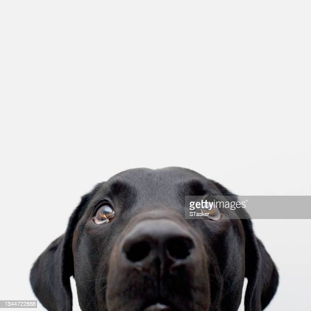 black labrador retriever looking up - st. albans stock pictures, royalty-free photos & images
