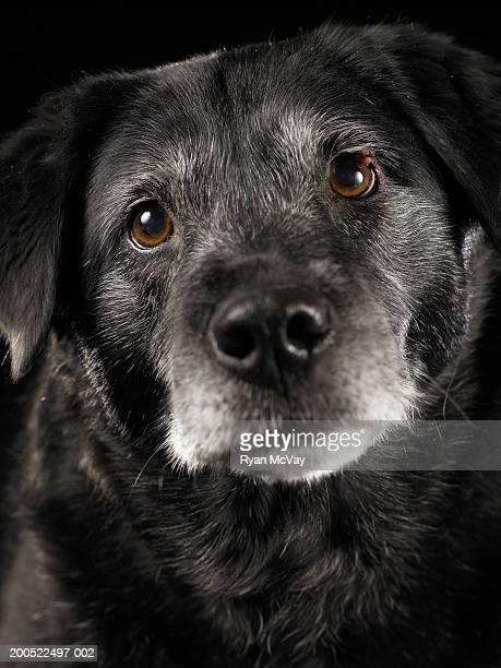 Black Labrador retriever mixed breed dog, close-up