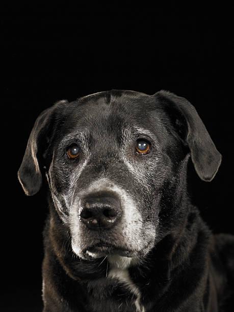 Black Labrador Retriever Mixed Breed Dog Looking Up Wall Art