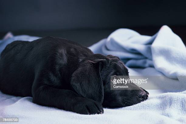 black labrador retriever on blanket - labrador preto imagens e fotografias de stock