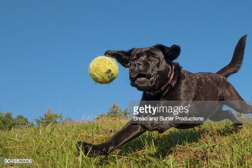 Black Labrador Retriever Outdoors Dog Catching Tennis Ball