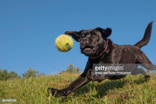 Black Labrador Retriever Outdoors Dog Catching Tennis Ball