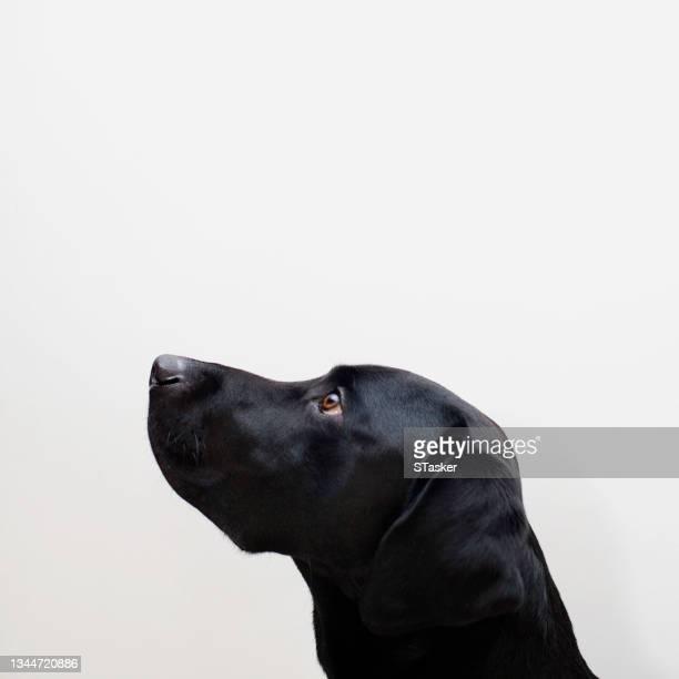 black labrador retriever portrait - st. albans stock pictures, royalty-free photos & images
