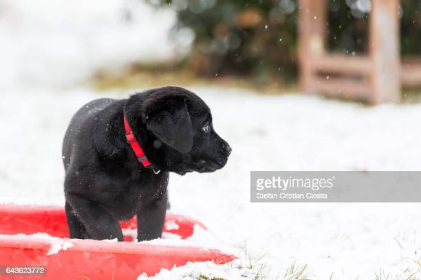 Black labrador retriever puppy in snow