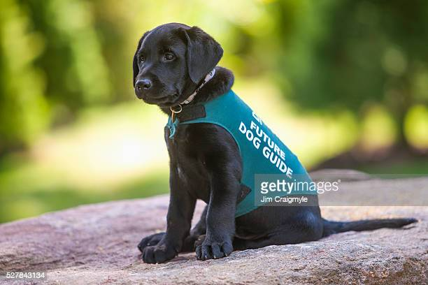 Black labrador retriever puppy that will be trained as a dog guide.