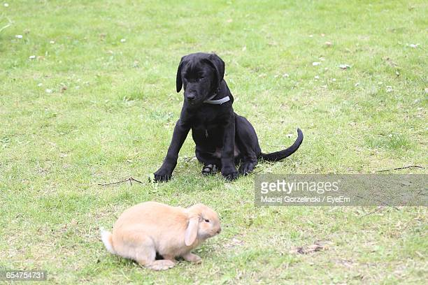 Black Labrador Retriever Puppy With Rabbit On Grass In Back Yard
